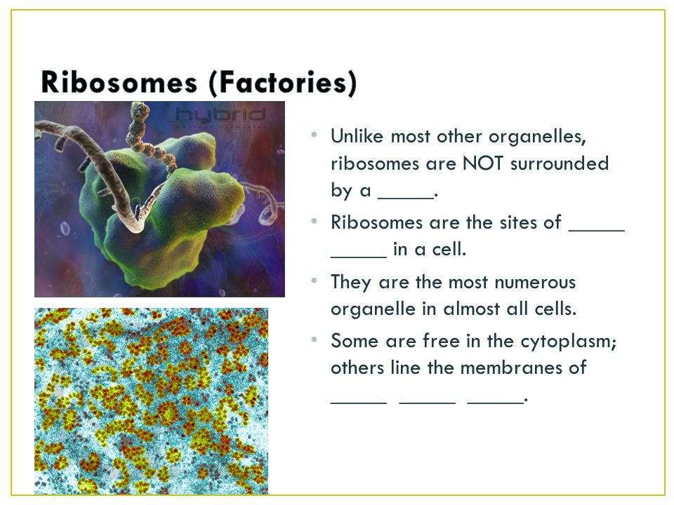 Ribosomes (Factories)