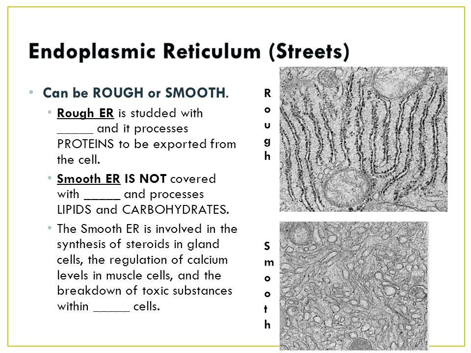 Endoplasmic Reticulum (Streets)