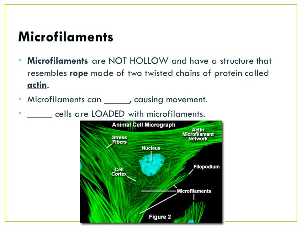 Microfilaments Microfilaments are NOT HOLLOW and have a structure that resembles rope made of two twisted chains of protein called actin.