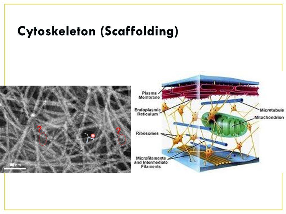 Cytoskeleton (Scaffolding)