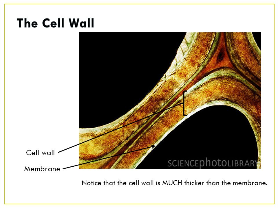 The Cell Wall Cell wall Membrane