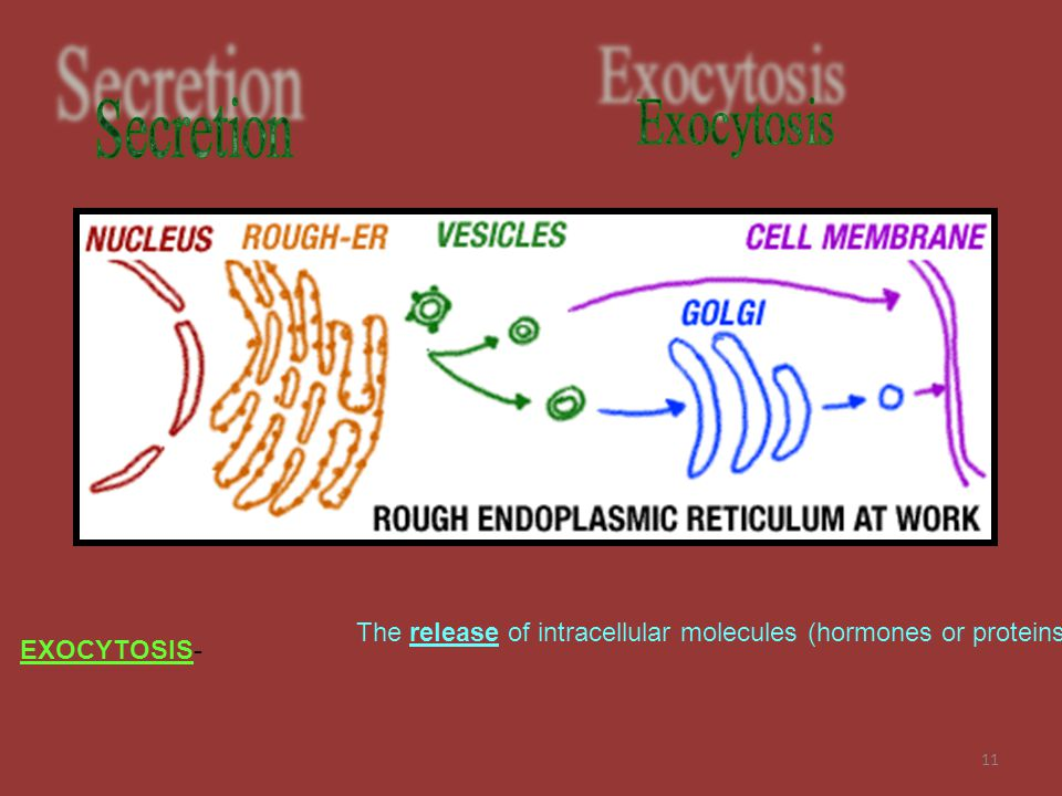 Secretion Exocytosis The release of intracellular molecules (hormones or proteins) EXOCYTOSIS-