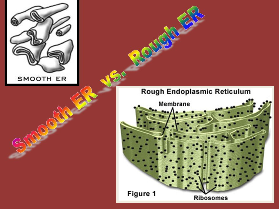 Smooth ER vs. Rough ER http://micro.magnet.fsu.edu/cells/animals/images/endoplasmic.jpg
