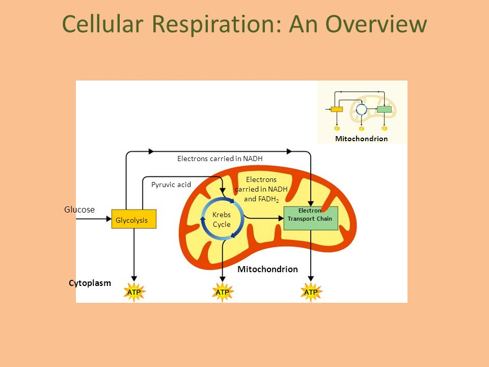 Cellular Respiration: An Overview