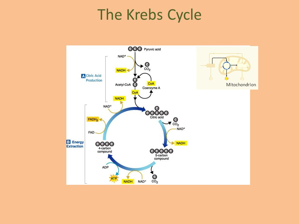 The Krebs Cycle Citric Acid Production Mitochondrion