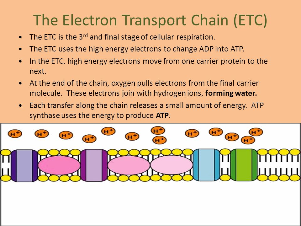 The Electron Transport Chain (ETC)