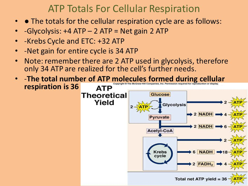 ATP Totals For Cellular Respiration