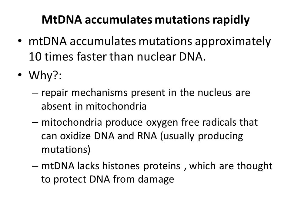 MtDNA accumulates mutations rapidly