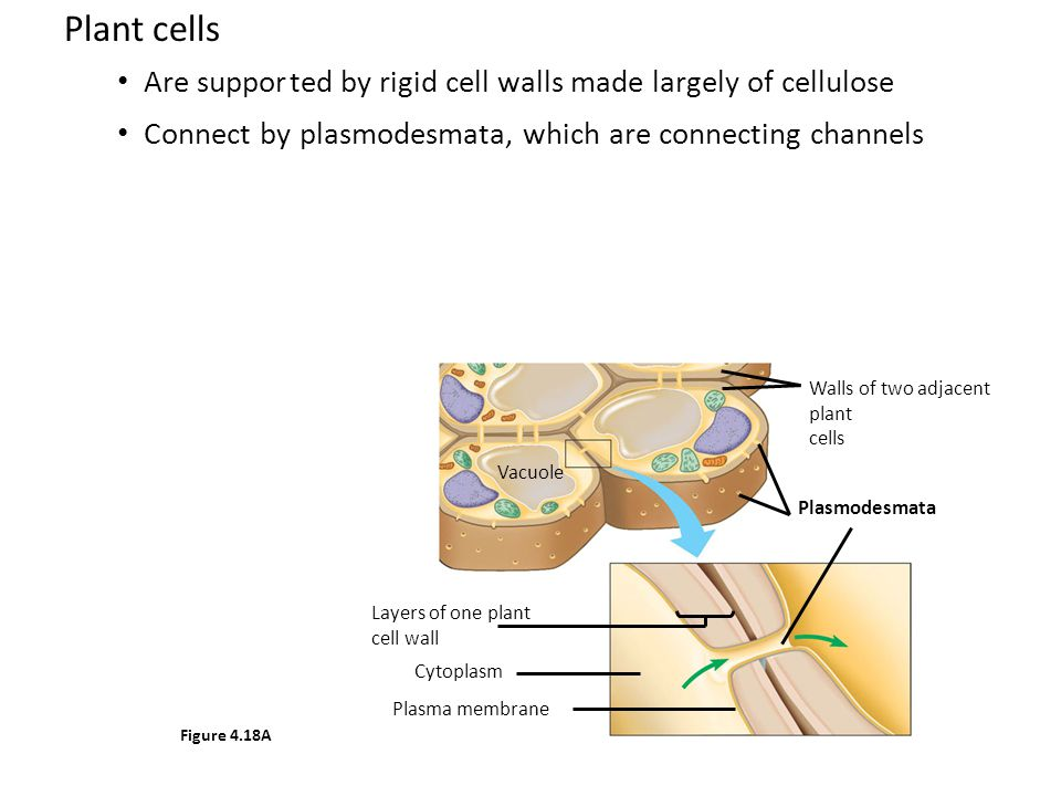 Plant cells Are suppor ted by rigid cell walls made largely of cellulose. Connect by plasmodesmata, which are connecting channels.