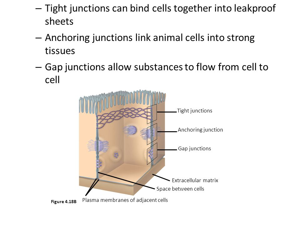 Tight junctions can bind cells together into leakproof sheets