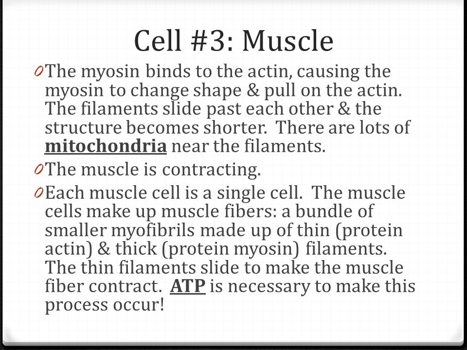 Cell #3: Muscle