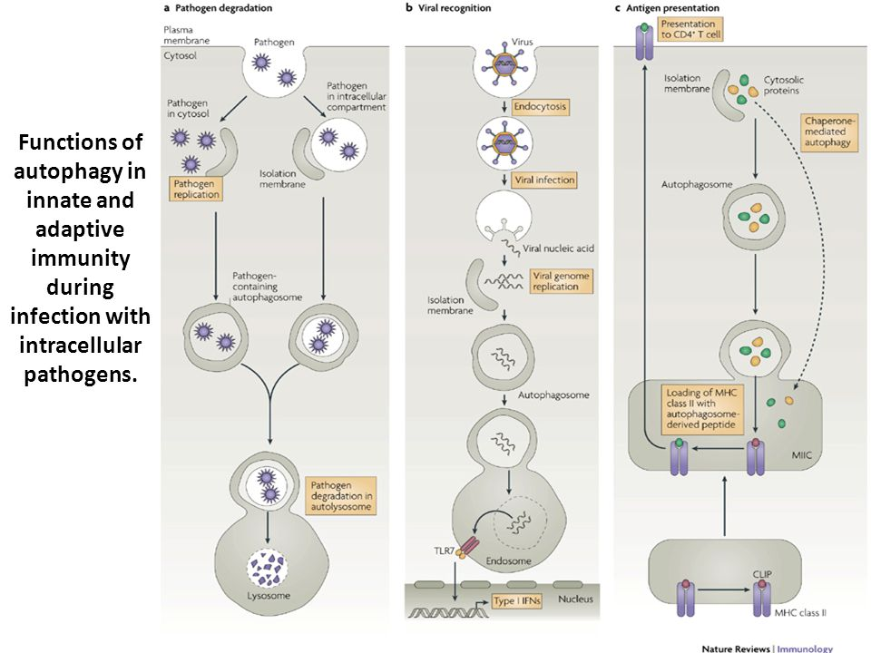Functions of autophagy in innate and adaptive immunity during infection with intracellular pathogens.