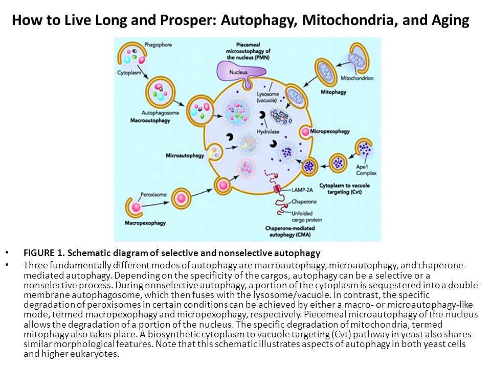 How to Live Long and Prosper: Autophagy, Mitochondria, and Aging