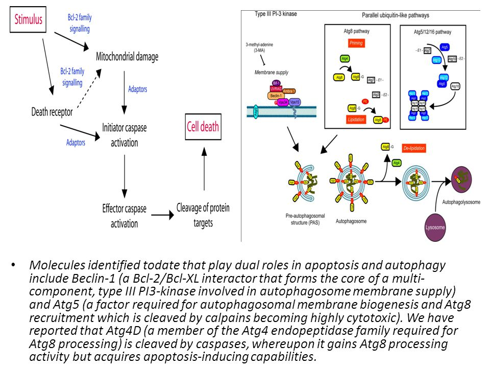 Molecules identified todate that play dual roles in apoptosis and autophagy include Beclin-1 (a Bcl-2/Bcl-XL interactor that forms the core of a multi-component, type III PI3-kinase involved in autophagosome membrane supply) and Atg5 (a factor required for autophagosomal membrane biogenesis and Atg8 recruitment which is cleaved by calpains becoming highly cytotoxic).
