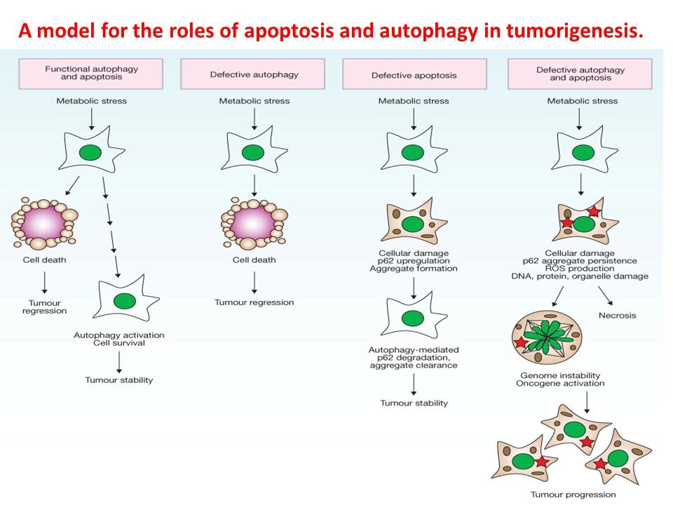 A model for the roles of apoptosis and autophagy in tumorigenesis.