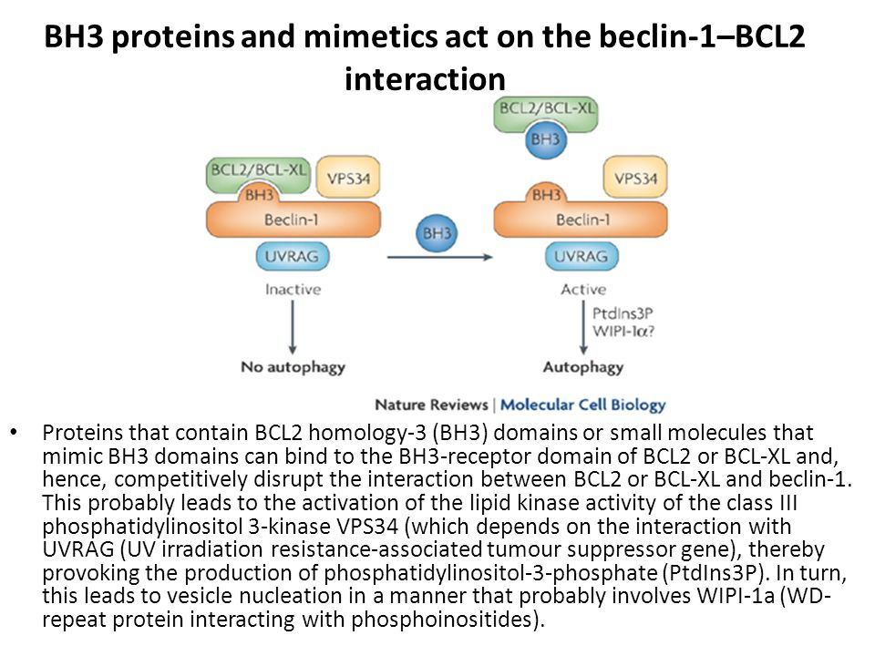 BH3 proteins and mimetics act on the beclin-1–BCL2 interaction