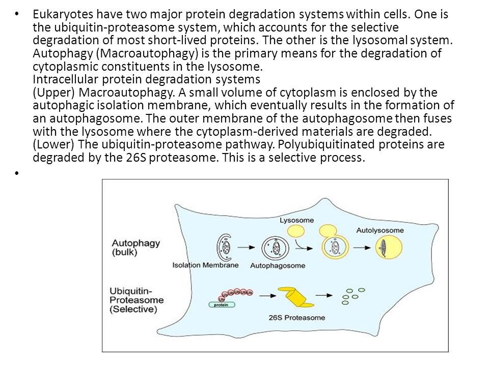 Eukaryotes have two major protein degradation systems within cells