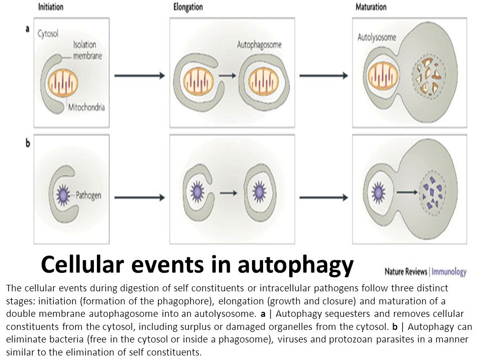 Cellular events in autophagy