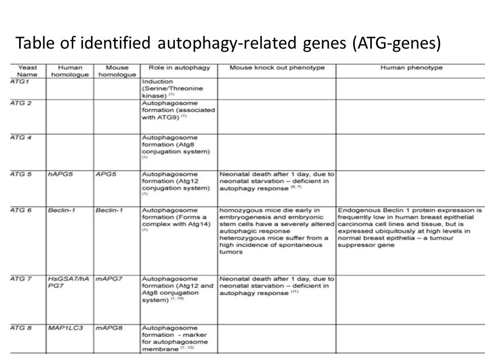 Table of identified autophagy-related genes (ATG-genes)
