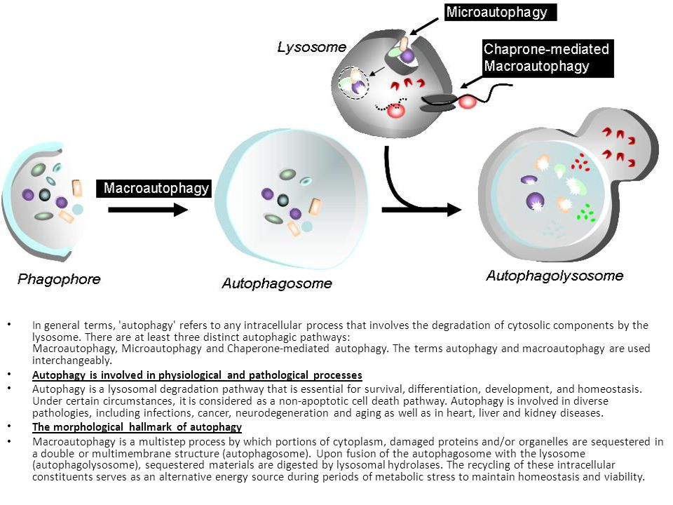 In general terms, autophagy refers to any intracellular process that involves the degradation of cytosolic components by the lysosome. There are at least three distinct autophagic pathways: Macroautophagy, Microautophagy and Chaperone-mediated autophagy. The terms autophagy and macroautophagy are used interchangeably.