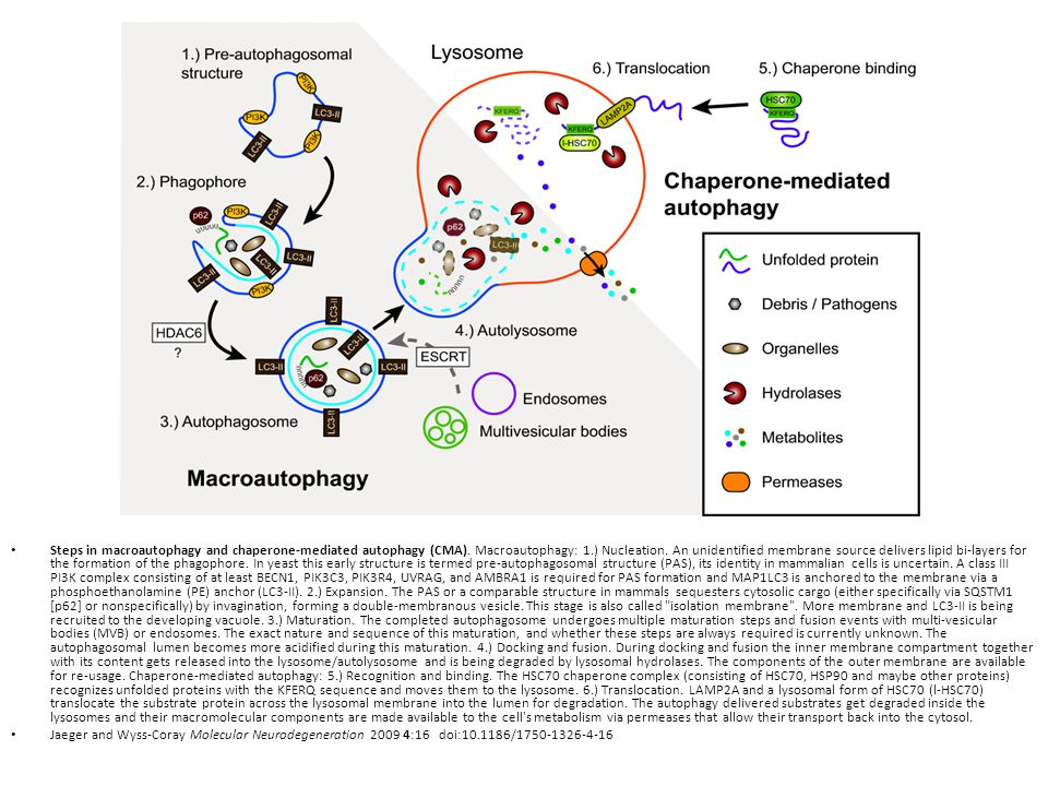 Steps in macroautophagy and chaperone-mediated autophagy (CMA)