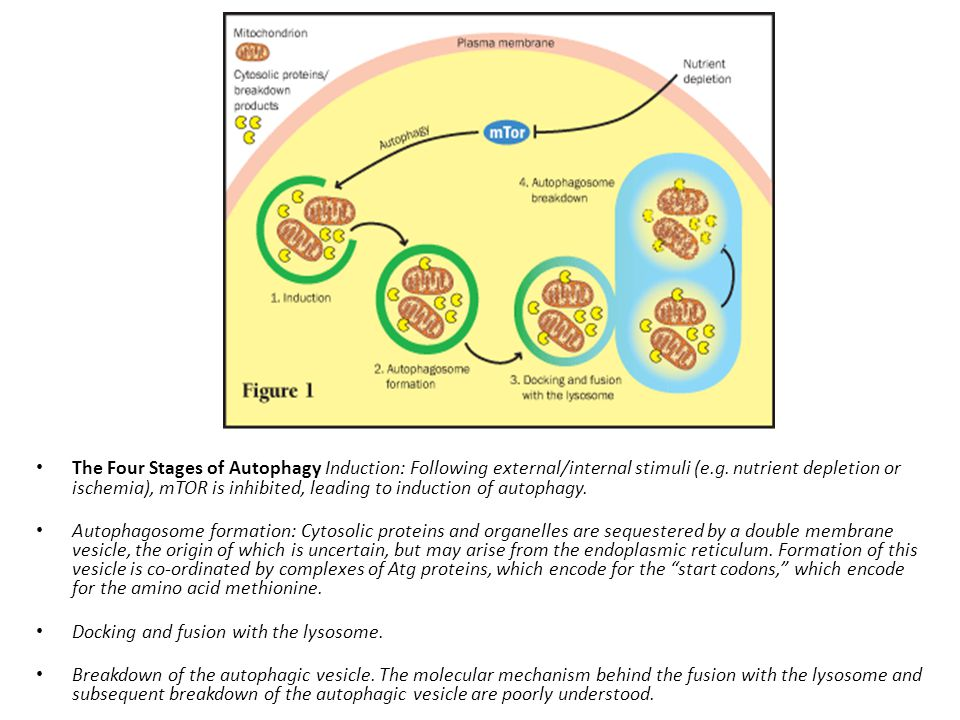 The Four Stages of Autophagy Induction: Following external/internal stimuli (e.g. nutrient depletion or ischemia), mTOR is inhibited, leading to induction of autophagy.