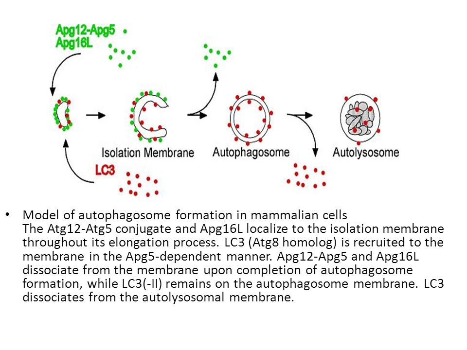 Model of autophagosome formation in mammalian cells The Atg12-Atg5 conjugate and Apg16L localize to the isolation membrane throughout its elongation process.
