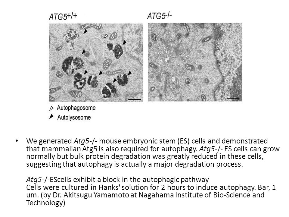 We generated Atg5-/- mouse embryonic stem (ES) cells and demonstrated that mammalian Atg5 is also required for autophagy.