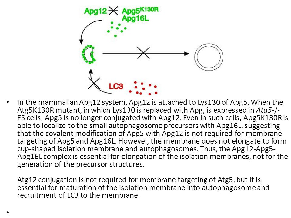 In the mammalian Apg12 system, Apg12 is attached to Lys130 of Apg5