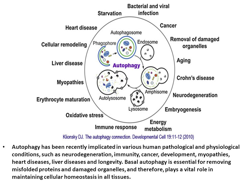 Autophagy has been recently implicated in various human pathological and physiological conditions, such as neurodegeneration, immunity, cancer, development, myopathies, heart diseases, liver diseases and longevity.