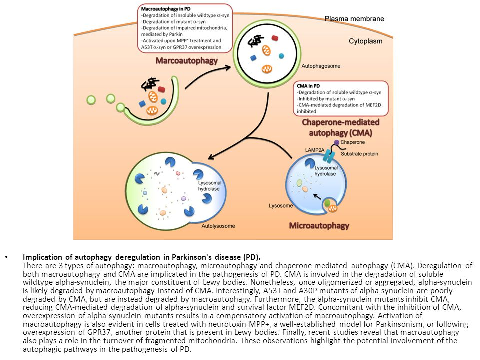 Implication of autophagy deregulation in Parkinson s disease (PD)