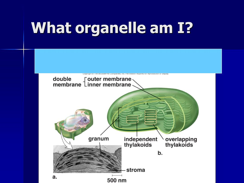 What organelle am I