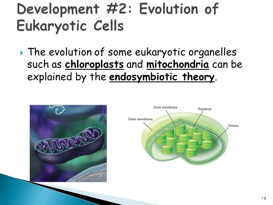 the evolution of eukaryotic cells from Eukaryotic cells can be compared to mythical chimeras because of the origin scientists the endosymbiosis theory: evolution of cells related study materials related.