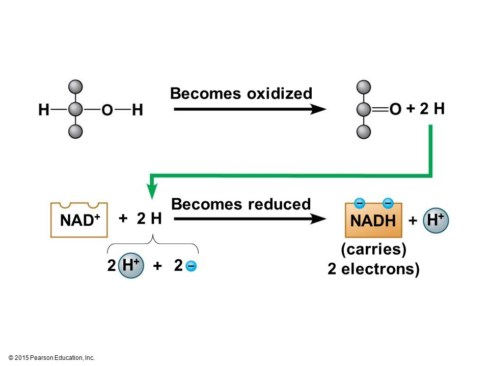 Becomes oxidized + 2 H Becomes reduced + 2 H NAD+ NADH H+