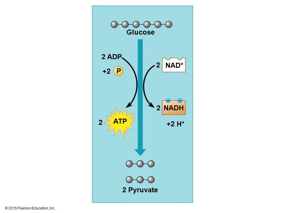 Glucose 2 ADP 2 NAD+ +2 P 2 NADH 2 ATP +2 H+ 2 Pyruvate