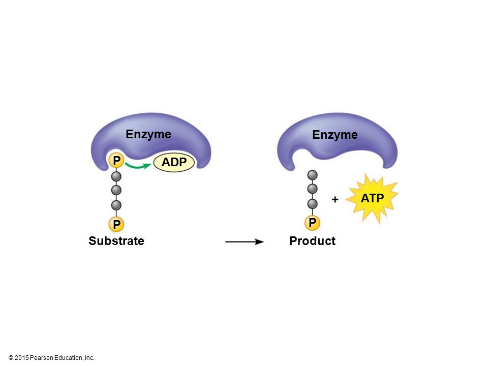 Enzyme Enzyme P ADP ATP P P Substrate Product
