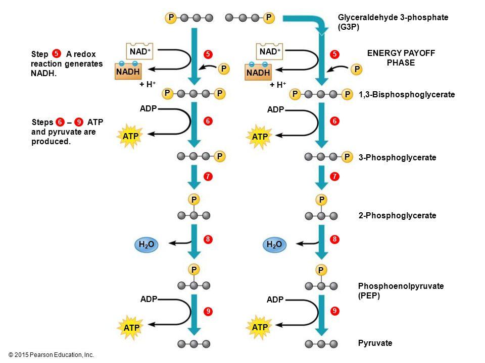 Glyceraldehyde 3-phosphate (G3P)