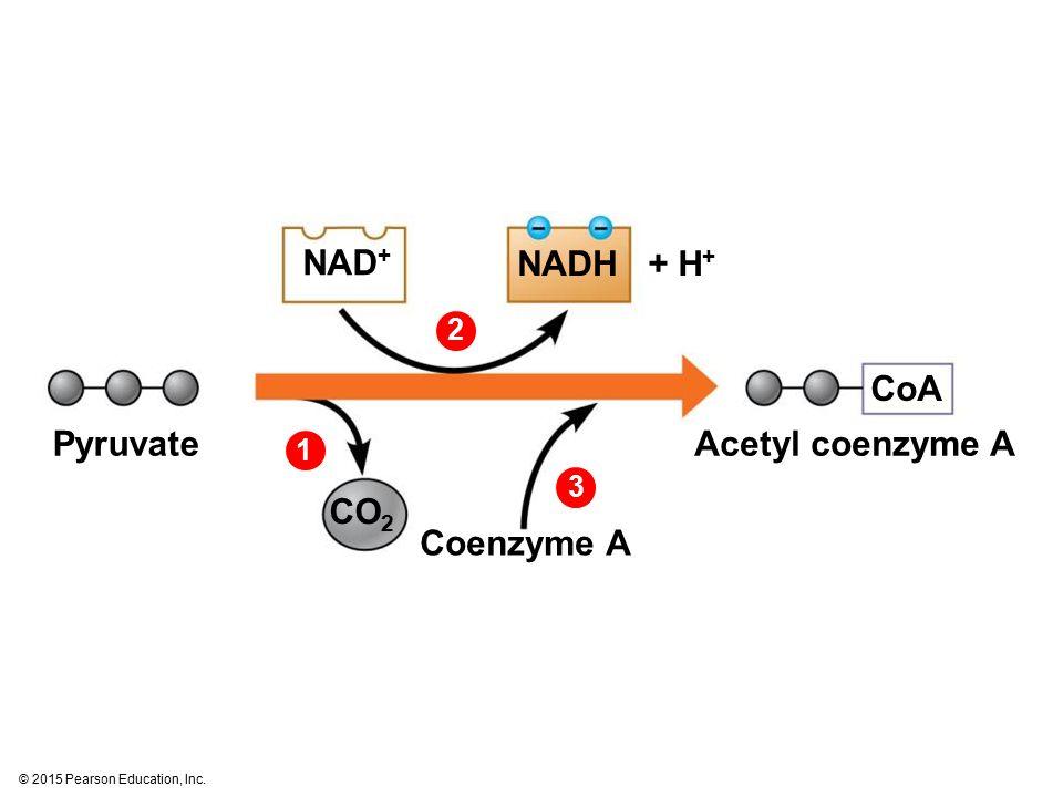 NAD+ NADH + H+ CoA Pyruvate Acetyl coenzyme A CO2 Coenzyme A 2 1 3