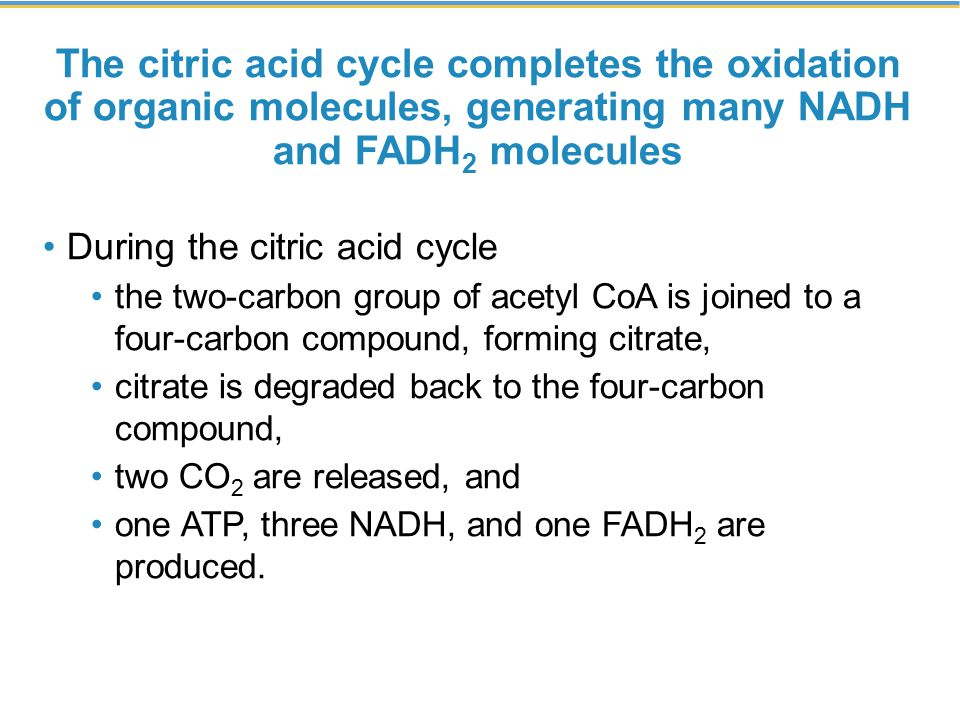 The citric acid cycle completes the oxidation of organic molecules, generating many NADH and FADH2 molecules