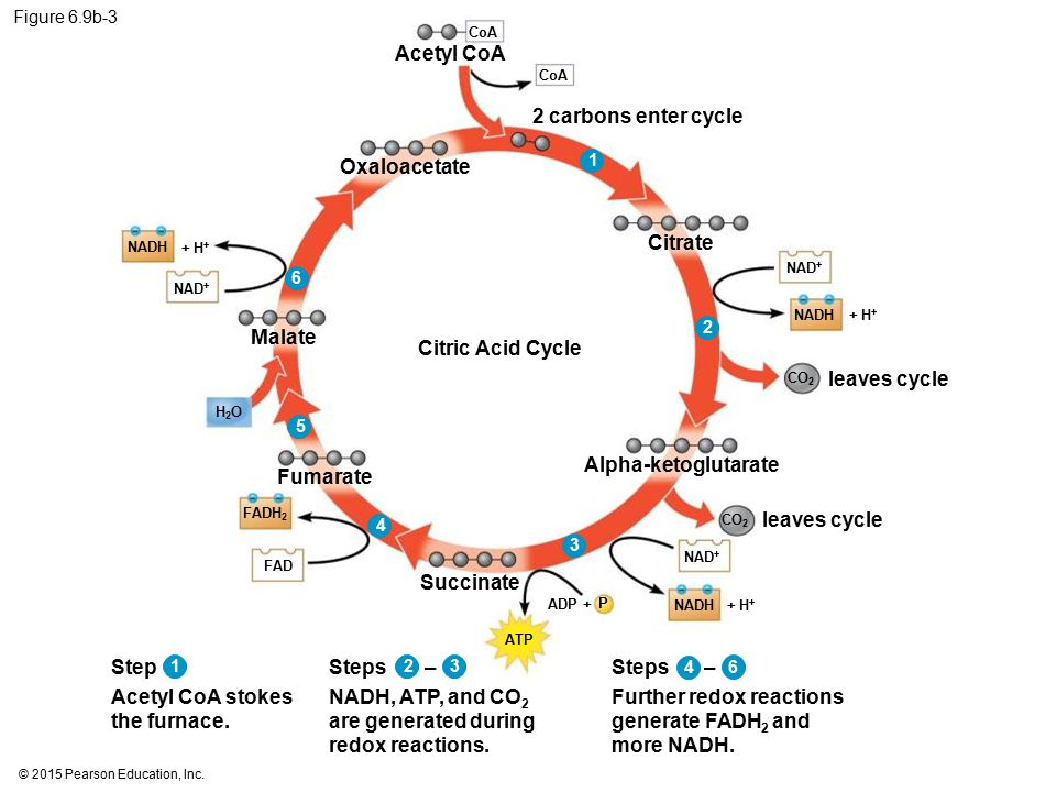 Acetyl CoA stokes the furnace. Steps –