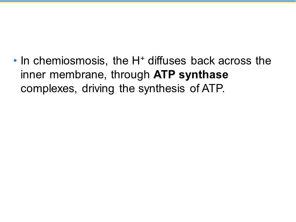 In chemiosmosis, the H+ diffuses back across the inner membrane, through ATP synthase complexes, driving the synthesis of ATP.