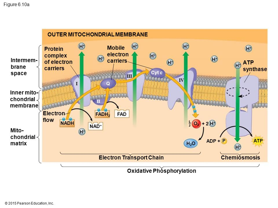 OUTER MITOCHONDRIAL MEMBRANE