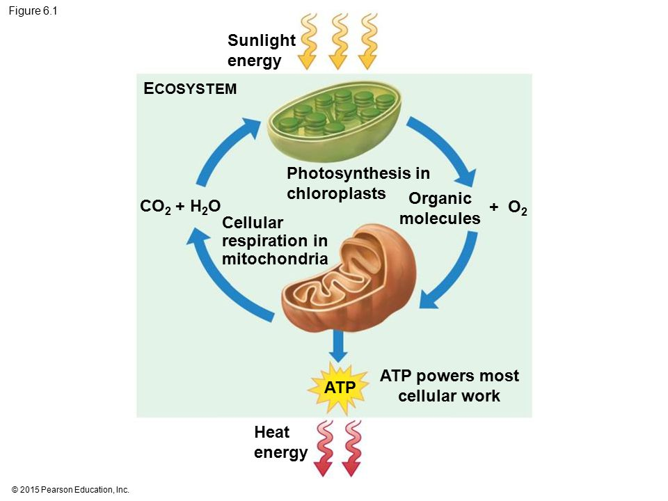 ATP powers most cellular work