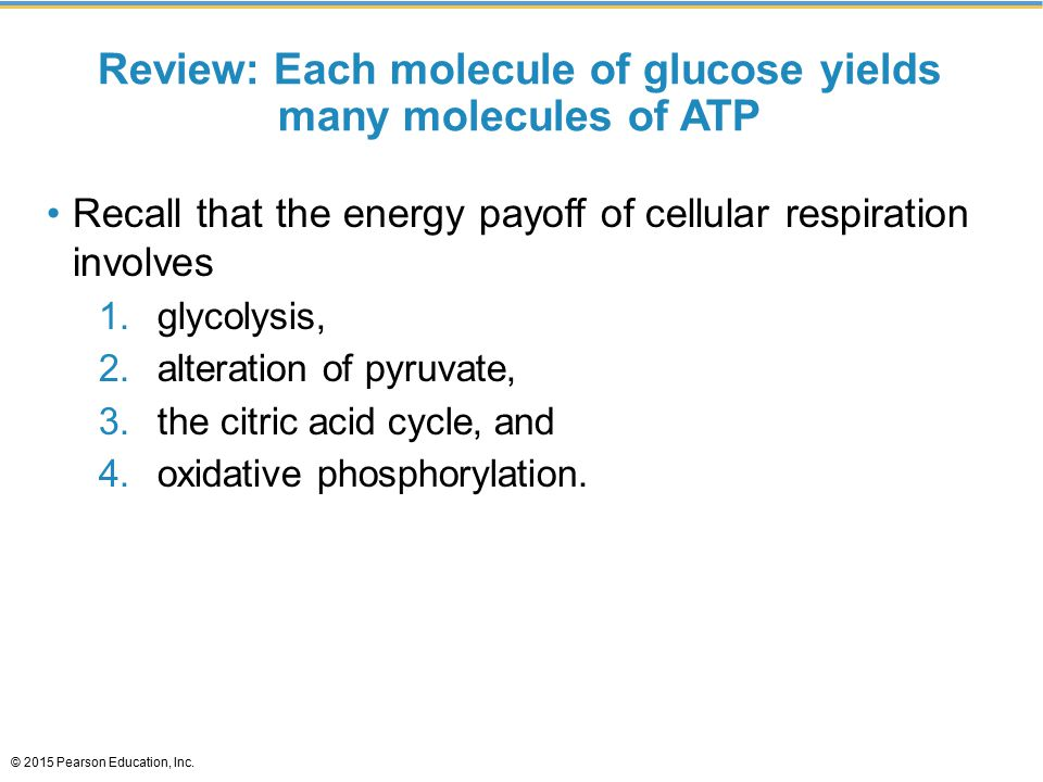 Review: Each molecule of glucose yields many molecules of ATP
