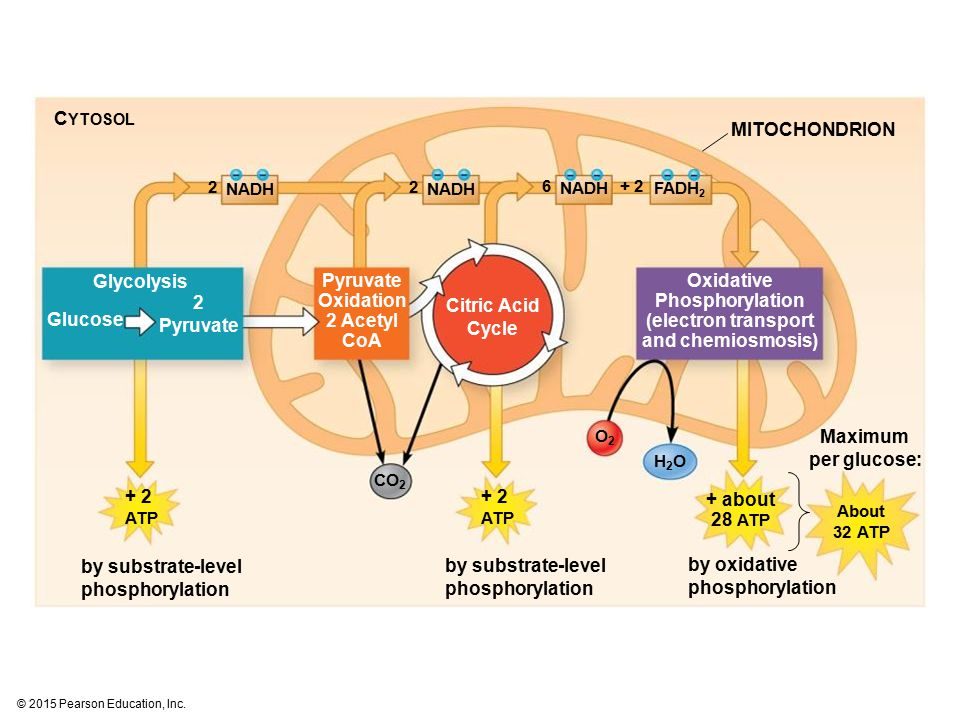 Pyruvate Oxidation 2 Acetyl CoA
