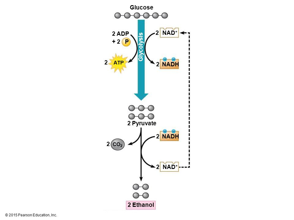 Glucose 2 ADP 2 NAD+ + 2 P Glycolysis 2 ATP 2 NADH 2 Pyruvate 2 NADH