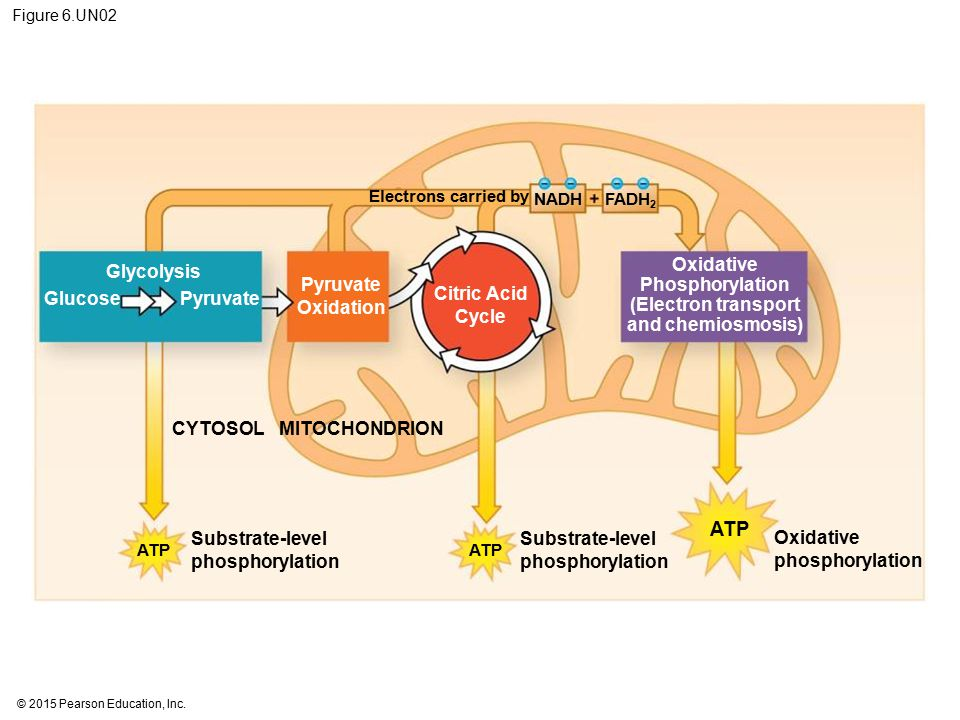 Oxidative Phosphorylation (Electron transport and chemiosmosis)