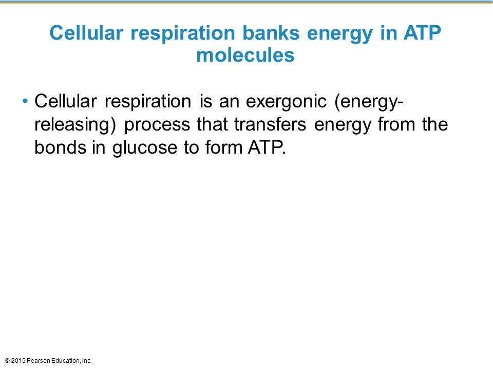 Cellular respiration banks energy in ATP molecules