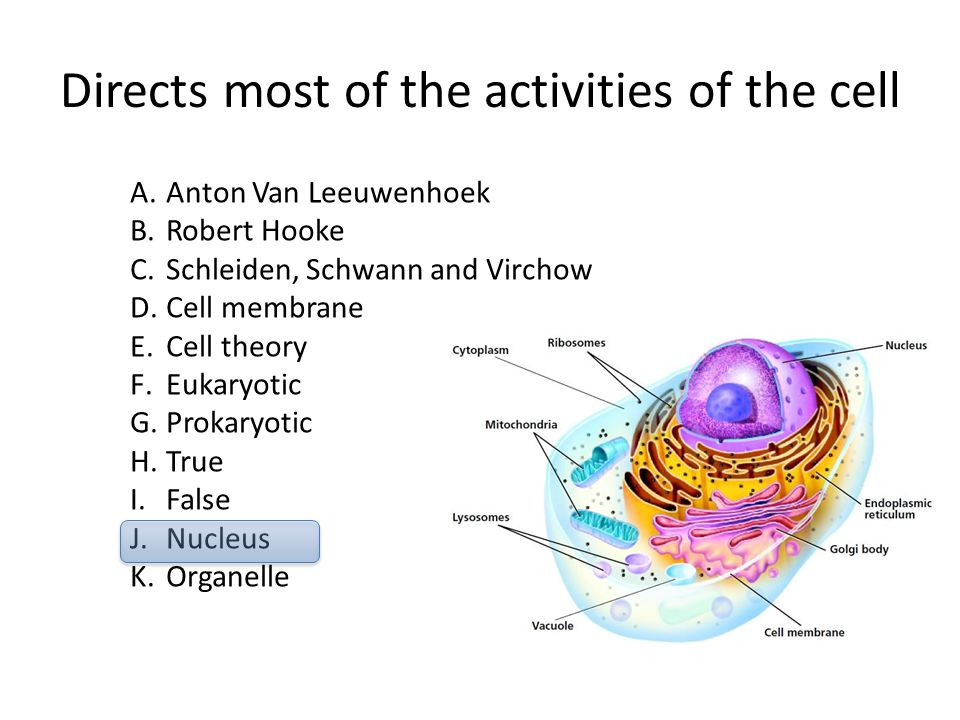 Directs most of the activities of the cell