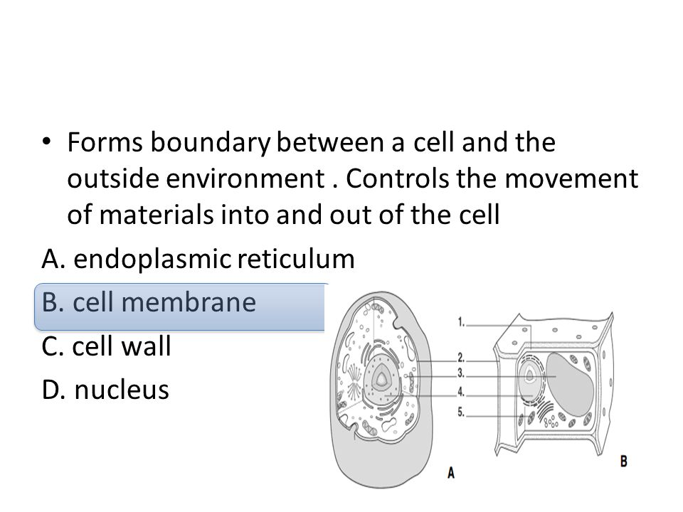 Forms boundary between a cell and the outside environment